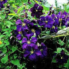 Clematis - vine from 3-20' - blue, pink, red, white - perennial -- Try this climbing up the tree trunks!