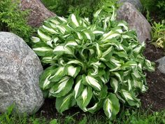 Kirjokuunlilja - Hosta undulata 'Mediovariegata'