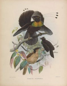 Illustrations of birds of paradise from Daniel Elliot's A Monograph of the Paradiseidae (1873)