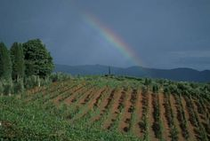 The beauty and tranquility of the vineyards www.tenutacorsignano.it
