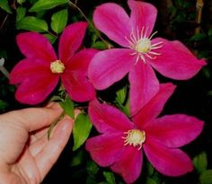 JUNE/JULY/AUGUST/SEPTEMBER available from Taylors Clematis