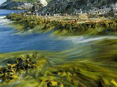 Coastline snares of kelp. Photo by Frans Lanting.