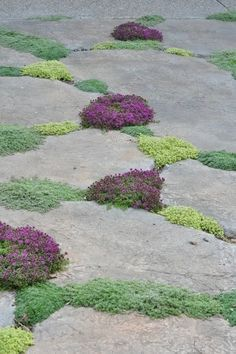 Paving stones. with thymechamomile in between.