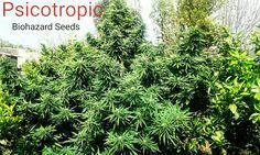 Biohazard Seeds (@info_seeds)   Twitter
