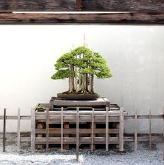 """Goshin"" Protector of the Spirits, a beautiful Bonsai made out of 11 foemina junipers. #bonsai"