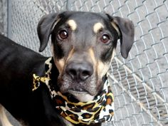 Manhattan Center AXEL – A1044010 NEUTERED MALE, BLACK / TAN, GERM SHEPHERD / DOBERMAN PINSHER, 1 yr, 6 mos OWNER SUR – EVALUATE, NO HOLD Reason PERS PROB Intake condition EXAM REQ Intake Date 07/14/2015