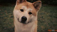Fotos da raça japonesa de cães