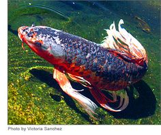 Koi. This creature is amazing! I think these fish probably stoked the imagination of classical japanese artists who depicted the dragon.