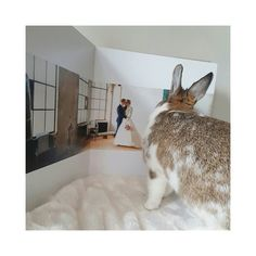 Today the humans married one and a half year. Huray!  #married #weddingalbum #wedding #huray #pip #bunnypip #lovemybunny #petlove #bunnyphotography #bunnyoftheday #dwarfbunny #dwergkonijn #petstagram #petsofinstagram #konijn #huisdier #houserabbit #huiskonijn #housebunny #rabbit #animal #rabbits #rabbitsofinstagram #rabbitstagram #rabbitsworldwide #bunnies #bunniesofinstagram #bunniesworldwide #bunniesofig #bunny by bunnypip_