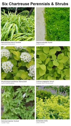 Six Chartreuse Perennials and Shrubs for your Garden, Thinking Outside the Boxwood