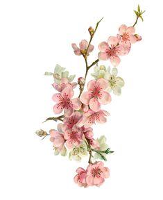Breathtaking Flower Tattoos Ideas - Cherry Branch on White Botanical Drawings, Botanical Prints, Watercolor Flowers, Watercolor Paintings, Stickers Kawaii, Blossom Tattoo, Flower Wallpaper, Flower Tattoos, Flower Art