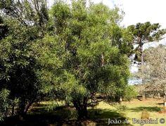 Pouteria salicifolia - Buscar con Google
