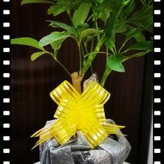 #corporate Gift ideas #gift a plant #christmas gifts #Www.jogindernursery.com #buy plants online #plants as gifts #corporate gift ideas #unique gift ideas #plant as gifts  Gift a plant to your love one. Many more available at our Joginder Nursery's Urban Centre Store at Connaught Place, New Delhi.