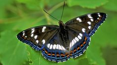 Suomen Perhoset Haapaperhonen » Suomen Perhoset Beautiful Butterflies, Dragonflies, Bees, Butterfly, Nature, Animals, Finland, Papillons, Ant