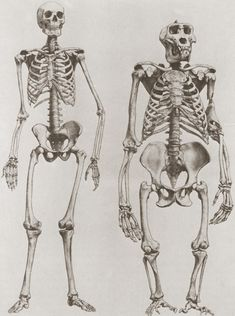 The skeletons of a human (left) and a gorilla (right)