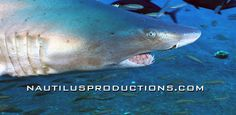 The Summer of Sharks! The Nautilus Productions LLC shark stock footage collection continues to grow. Visit http://nautilusproductions.com/stock-footage to learn more.  #NautilusProductions #StockFootage #VideoProduction #Sharks #SandTiger