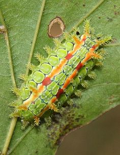 This beautiful caterpillar comes in a rainbow of pastel colors including green, blue, pink and yellow and is a little less than an inch long. It is rather flat and has four clusters of darker spines near the hind end. Poison released by the spines can cause a severe reaction and warrant medical attention. The Spiny Oak Slug Caterpillar likes to feed on sycamore, willow, ash, oak, hackberry and chestnut along with other trees and smaller woody plants. This species can be found in the woodlands...