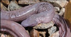 Strange Animals You Didn't Know Exist Penis Snake This, uhm… peculiar eyeless animal is actually called Atretochoana eiselti. It is a large, presumably aquatic, caecilian amphibian with a broad, flat head and a fleshy dorsal fin on the body Bizarre Animals, Unusual Animals, Rare Animals, Ugly Animals, Interesting Animals, Adorable Animals, Les Reptiles, Reptiles And Amphibians, Glaucus Atlanticus