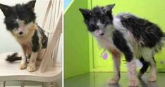 A few years ago, an unlucky cat named Samuel arrived at the BARC animal shelter in Houston, Texas and it was clear he was in dire need of help. Samuel was Sick Cat Symptoms, Cat Noises, Cat Years, Tiny Cats, F2 Savannah Cat, Munchkin Cat, Animal Antics, Cat Carrier, Cat Boarding