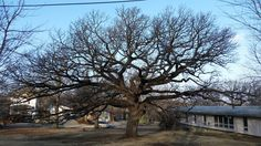 The Searle's Oak, Holton KS was donated to the city in 1992, when it was the 11th Largest bur oak in Kansas. Estimated planting time between 1792 and 1817