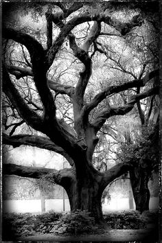 Louisiana Tree/Black and White