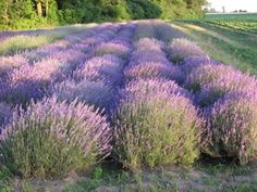 Lavender farm in Norfolk County, Ontario. Norfolk County, I Am Canadian, Ontario, Things To Do, Country Roads, Farms, Nature, Plants, Travel