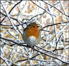 Saw my first Robin of the Winter.