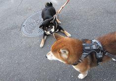 「柴犬 遊ぶ」の画像検索結果