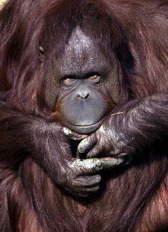 Kansas City Zoo receives $1 million gift to benefit orangutans