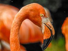 Flamingo - From Prague ZOO