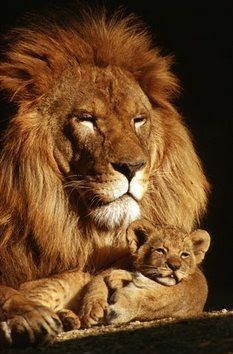 Proud lion dad with his baby!♡♥♡♥♡♥