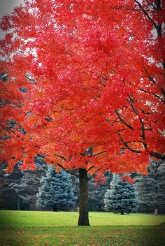 Maple, 'October Glory' (Acer rubrum 'October Glory'): Red Maple cultivar; dark green leaves turn red in late fall; Grows 40'-50' high; prefers slightly acid, moist soils; partial shade to full sun. +