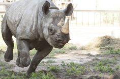 Black rhino at Lee Richardson Zoo in Garden City, KS