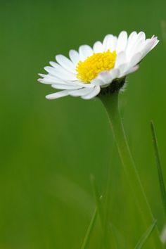 White Daisy - flowers Photo