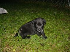 black lab blue heeler mix puppies for sale Cute Baby