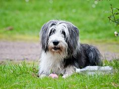 #WellPetsEastChinnock The Bearded Collie almost became extinct during the Second World War. In 1944 Mrs. G. O. Willison from Great Britain bred a pair of Bearded Collies, resurrecting the breed.