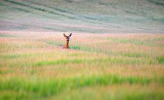 Curious roe deer - BEST VIEWED LARGE