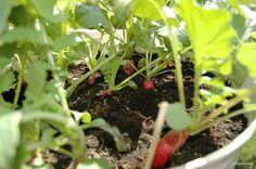 Growing radish. Grow something green. Reddik på balkongen! Small space gardening. Balkonghage.