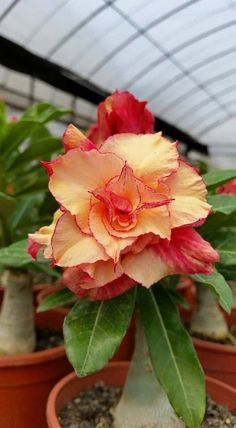 2 Rare Yellow Red Desert Rose Seeds Adenium Obesum Flower Perennial Bushes Exotic Tropical Garden Flowering Bonsai Tree Plant 426 by PetalAndThornSeeds on Etsy #TropicalGarden #tropicalgardens #exoticflowersred