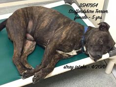 ID#35147954 Staffordshire Terrier, female 5 years, brindle, stray intake 20 April 2017. Valancia County Animal Shelter.