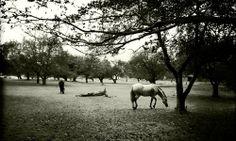 #photography #sepia #horses #trees #inspiration #horse #appleorchard #murphyempiredesign #photo #maine #scarborough #ramislandfarm