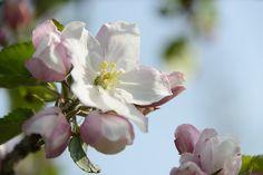MooiDichtbij Appelbloesem in de Betuwe