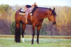 ZIPS Chocolate Chip! One of my fav Western pleasure horses of ALL TIME!