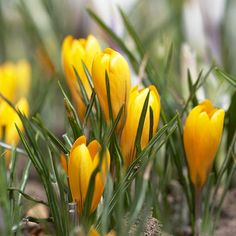 Crocus    After a long winter, the first bulb to flower is often a favorite bulb -- and crocus usually wins. 'Goldilocks' offers delightful deep yellow flowers in early spring, sometimes before the snow has melted.