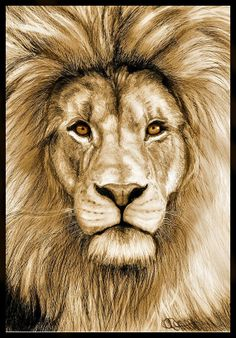 Lion art print of original drawing, matte finish, golden tones, pencil portrait