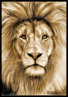 Lion art print of original drawing, matte finish, golden tones, pencil portrait