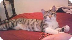 Fenton, MO - Domestic Shorthair. Meet Olive, a cat for adoption. http://www.adoptapet.com/pet/15215469-fenton-missouri-cat