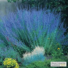 Blue Spires is the best large growing Russian sage selection blooming with dark blue flower spikes appearing in mid-summer. Thought to be a hybrid of two species, this plant has amazing vigor and blooms for many months.