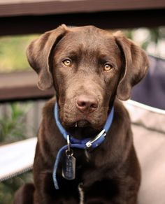 My puppy made 'Woof of the Week' & Lucky Dog Photo Contest Winner: Higgins the Labrador Retriever! Cute Puppies, Cute Dogs, Dogs And Puppies, Chocolate Lab Puppies, Chocolate Labs, Husky Corgi, Brown Labrador, Golden Labrador, Bulldogs