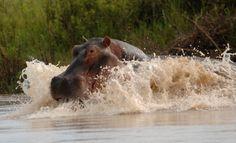 Parks, River Lodge, Hippopotamus, Animals, Tourism, Animales, Animaux, Animal, Animais
